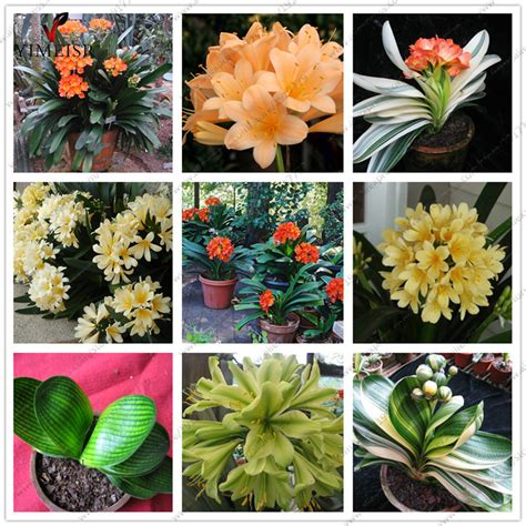 indoor plant seeds online buy wholesale clivia plants from china clivia