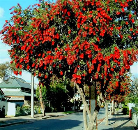 Bottle Brush Trees - bottle brush tree flickr photo