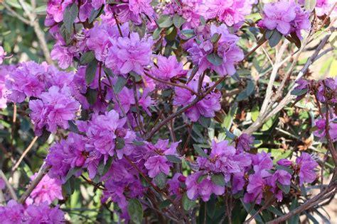 Rhododendron Sonniger Standort by Bl 252 Hende Garten Str 228 Ucher 20 Winterharte B 252 Sche F 252 R