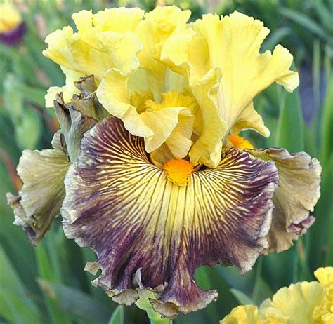 bearded iris world of irises quot talking irises quot plicata bearded irises an historic past and an exciting