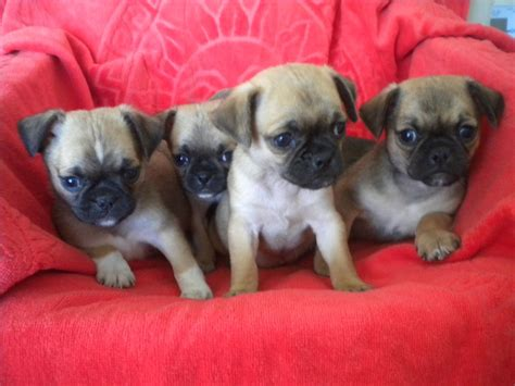 black pug temperament chug puppies www pixshark images galleries with a bite