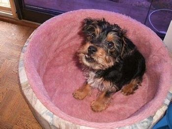 10 month yorkie yorkie breed information and pictures