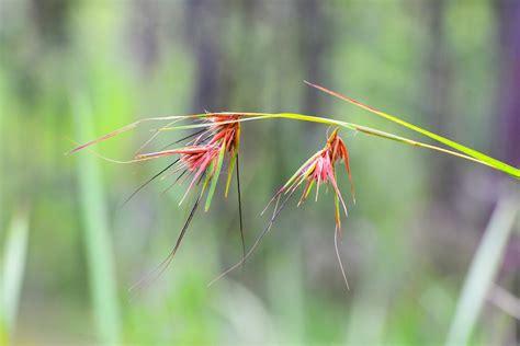 budidaya tanaman hias kamboja budidaya tanaman hias
