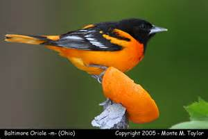 oriole killer animal pix pinterest