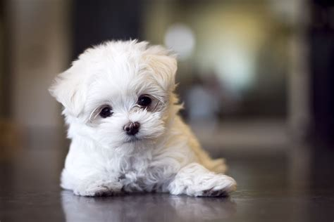 cute pictures of puppies 1 cute maltese www pixshark com images galleries with a