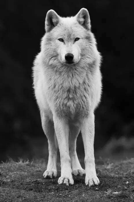 imagenes lobo blanco lobo blanco w o l f pinterest blanco y lobos