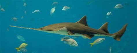 hiu gergaji saw shark malioboro