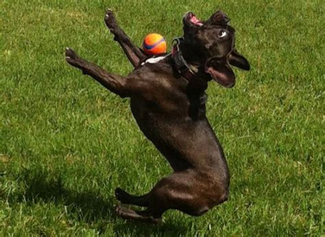 puppy fails the 13 greatest gifs of awkward doofus dogs failing at fetch
