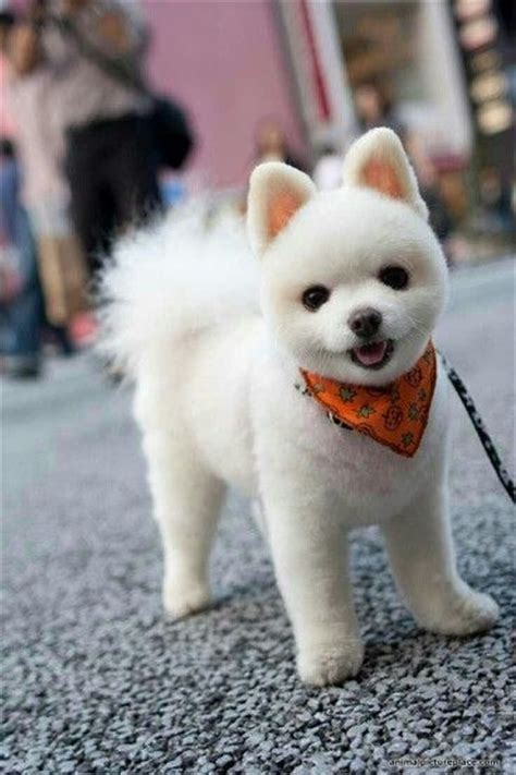 boo haircut pomeranian teddy pomeranian boo haircut breeds picture