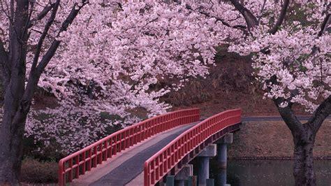fiore di ciliegio giapponese hanami inspiration fiori di ciliegio dal giappone
