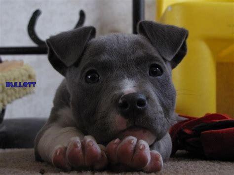 cutest pitbull puppies pit bull puppies pitbulls