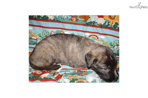 wolfhound puppies for sale ohio wolfhound for sale for 900 near columbus ohio 79c1b744 e581