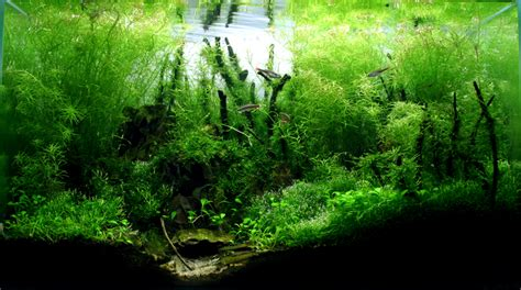 aquascape 2007 bamboo forest by stevenchong no gmf on