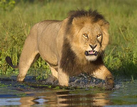 imagenes de leones salvajes lion walking through river animals in the wild