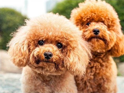 pictures of different types of poodles 78 best images about poodle on pinterest colleges