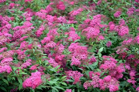 top 10 plants for clay soil the garden - Flowering Shrubs For Clay Soil