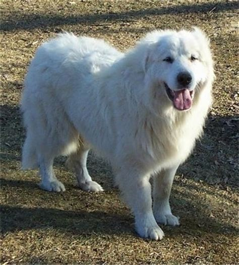 pictures of great pyrenees dogs great pyrenees breed information and pictures
