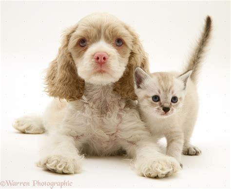 Pets: American Cocker Spaniel pup and kitten photo WP21998