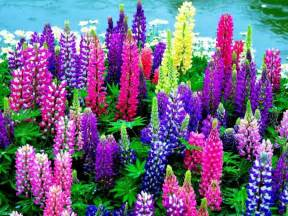 lupine color lupine flowers pixdaus