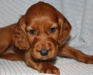 irish setter dogs for sale australia pin irish setter puppies for sale by breeders in australia