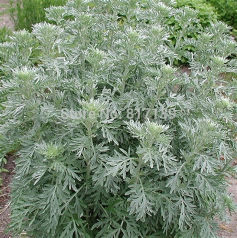 where to buy herb plants popular wormwood plant buy cheap wormwood plant lots from