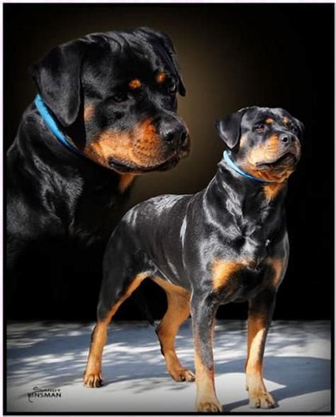 rottweiler strong strong rottweiler www imgkid the image kid has it