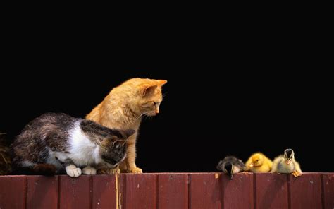 Cats Sitting On A Fence Wishing Iphone Semua Hp hd wallpaper and background image 1920x1200 id 422920