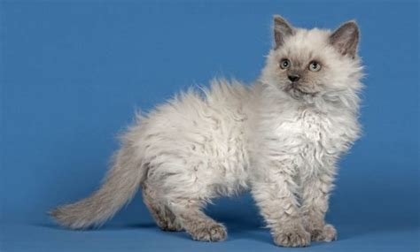 curly haired breeds top 8 beautiful curly haired cat breeds in the world