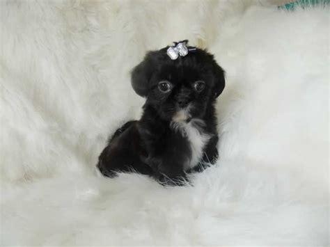 white imperial shih tzu imperial shih tzu puppies born 13th july 2014