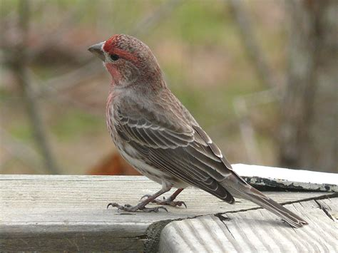 finch houses file house finch 27527 jpg wikimedia commons