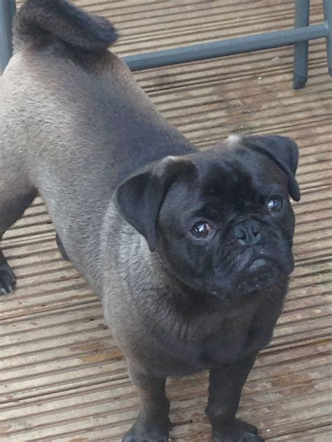 silver pug puppies for sale uk proven platinum silver pug stud white gene kc reg seaham county durham pets4homes