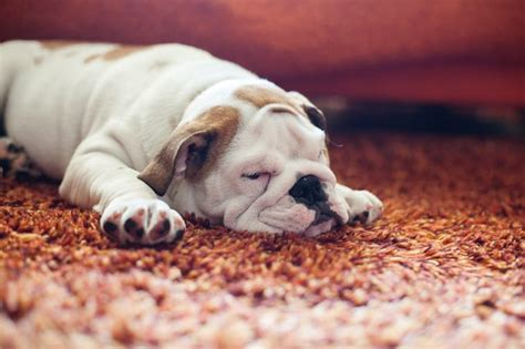 home remedies to keep dogs from peeing in the house what to spray on carpet to keep dogs from peeing cuteness com