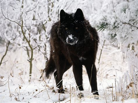 Black Wolf | black wolf in snow facts and photos all wildlife photographs