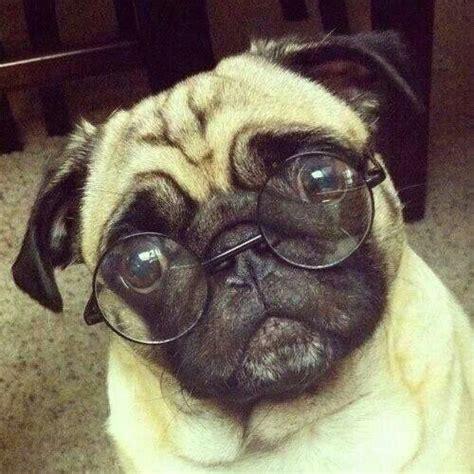 are pugs smart smart pug random quot pets quot
