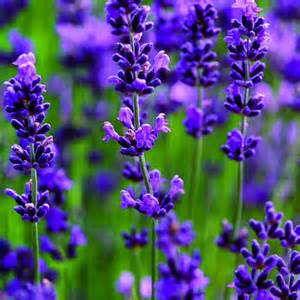 choose the right varieties of lavender sunset