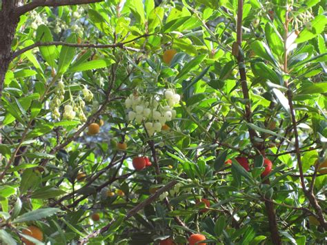 images of trees with fruits strawberry tree fruit salyal