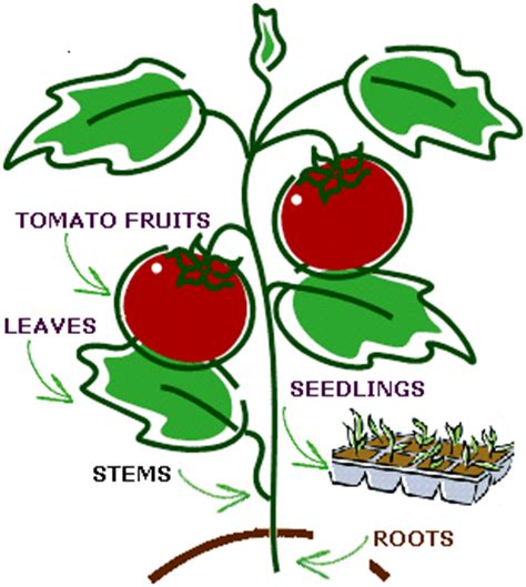 Tomato Pests and Diseases in the UK