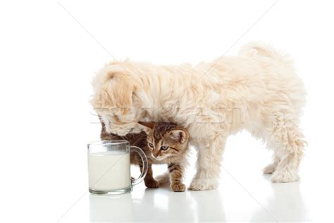 Special Cat Milk Kucing Longlife Growing Kitten 20 Gram kedi 183 k 246 pek 183 birlikte 183 s 252 t 183 fincan 183 sevmek stok foto茵raf 169 nagy bagoly ilona ilona75