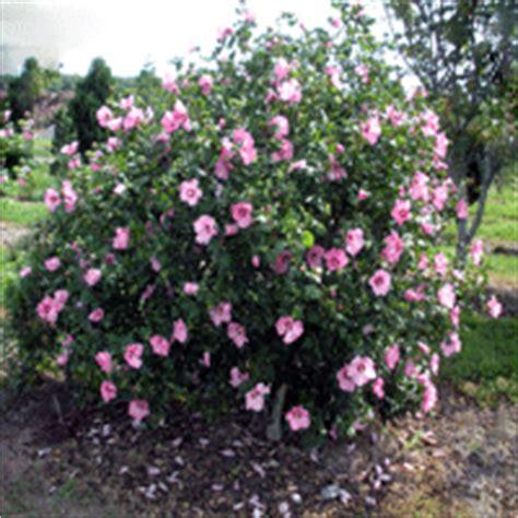 aphrodite rose  sharon buy   nature hills nursery