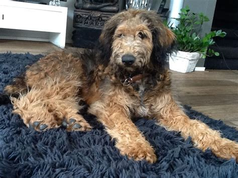 poodle doodle puppies for sale 82 best images about whoodle and labradoodle puppies on