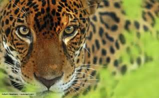 Jaguar Breeds Some Facts About Jaguar Animal Ironpanther