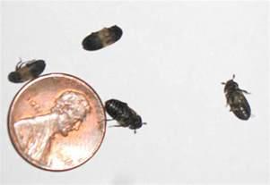 larder beetles jeffrey