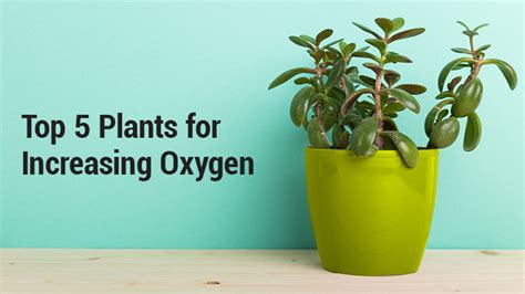 best indoor plants for oxygen lung institute top 5 plants for increasing oxygen