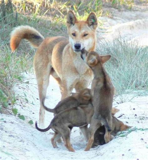dingo puppy dingo images dogbreedworld