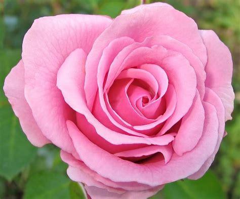 fiore dragone acquista all ingrosso drago rosa fiore da grossisti