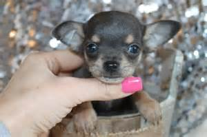 Blue chihuahua puppies for pinterest
