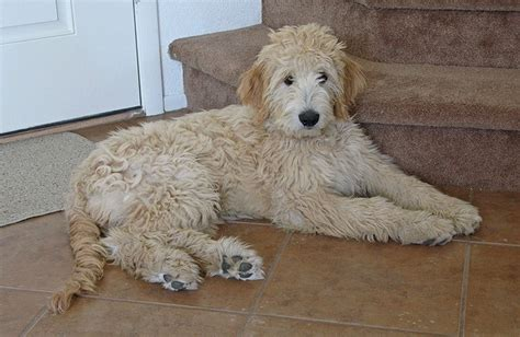 cross between golden retriever and poodle goldendoodle golden retriever poodle mix