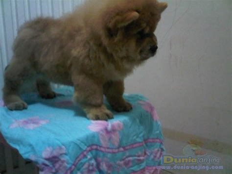 Jual Anakan Chow Chow Best Quality dunia anjing jual anjing chow chow dijual sepasang anakan chow chow istimewah