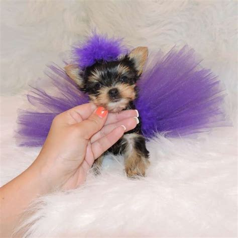 miniature teacup yorkies teacup yorkie puppies micro teacup yorkie puppy for sale teacup