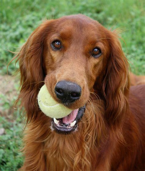 irish setter male dog names life past the fence dog rp 30 members